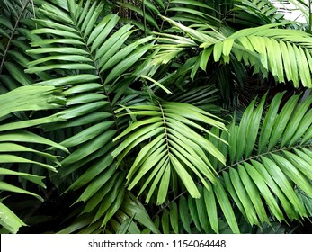 Chub is a tree with a unique leafy like coconut leaves. Green leaf is a beautiful bouquet.