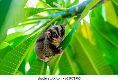 A Chubby adorable sugar glider climb on the tree in the garden. It can smell its own.(Petaurus breviceps)