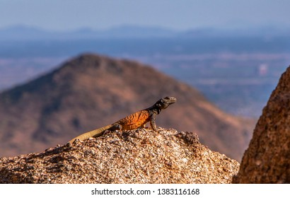 Chuckwalla Desert Lizzard with mountains in the backgroiund
