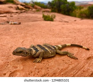 Chuckwalla lizard (juvenile), Sauromalus ater, a large reptile related to the iguana in its red rock desert habitat