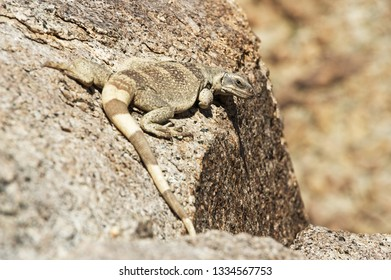 chuckwalla lizard or Souromalus ater sitting on a rock in the desert
