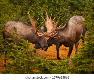 CHUGACH STATE PARK, ALASKA, USA - SEPTEMBER 6, 2011: Two bull moose, Alces alces, clashing antlers.