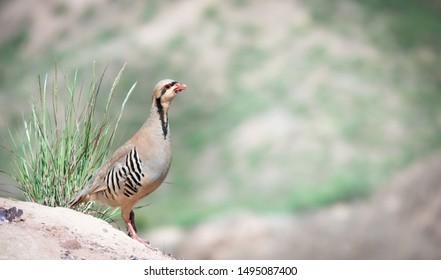 Partridge Bird Images, Stock Photos & Vectors | Shutterstock