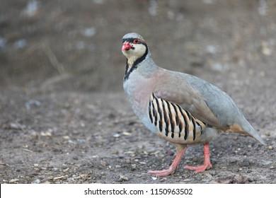 Chukar partridge (Alectoris graeca) searching for food. Alectoris chukar is very similar to European rock partridge.