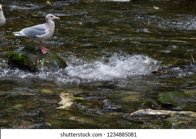 Chum salmon splash past a seagull perched on a rock in midstream ,Goldstream River, Vancouver Island, British Columbia.