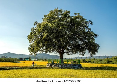 Chungju-si, Korea  - September 30, 2019: A woman is standing next to a bicycle under a zelkova.