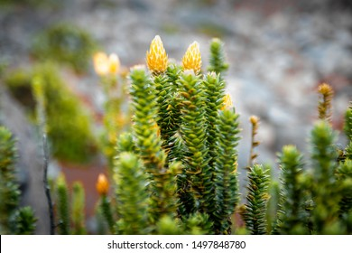 """The """"Chuquiragua"""" is an endangered plant, this plant lives at a height of 3,000 to 4,000 meters in the countries of Ecuador, Peru and Colombia, is known as """"the flower of the Andes"""""""
