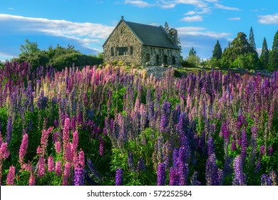 Church of the Good Shepherd and Lupine field at lake Tekapo, New Zealand. Summer landscape in New Zealand.