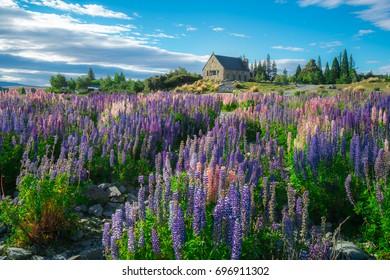 Church of the Good Shepherd and Lupine field at lake Tekapo, New Zealand. Lupin flower at lake Tekapo hit full bloom in December, summer season of New Zealand.