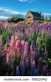 Church of the Good Shepherd and Lupine field at lake Tekapo, New Zealand. Lupin flower at lake Tekapo hit full bloom in December, summer season of New Zealand.