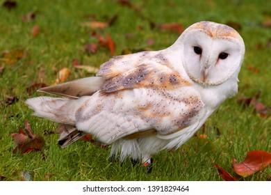 Church owl in the grass