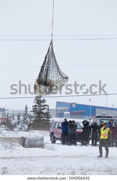 Churchill Manitoba Canada November 15 Sedated Stock Photo