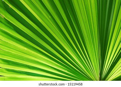 Chusan Palm Leaf section with backlighting