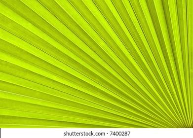 Chusan Palm Leaf section. Trachycarpus fortunie or Chinese Palm