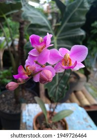 CIANJUR, INDONESIA, WEST JAVA, APRIL 5,2021: Phalaenopsis equestris is an ornamental plant of the Phalaenopsis orchid genus and originates from the Philippines and Taiwan
