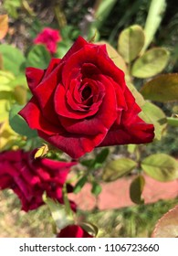 Cibolo, TX/US - 6/4/2018: Red Rose Bloom