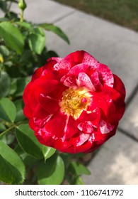 Cibolo,TX/US - 6/4/2018: Rock And Roll Rose Bloom, Red And White