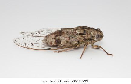 Cicada adult side