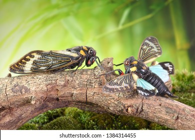 Cicada : Blue butterfly-wings cicada (Distantalna splendida) is a cicada species from southeast Asia (Thailand, Myanmar and India) Butterfly cicadas with broad multicolor wings, the Symphony of forest