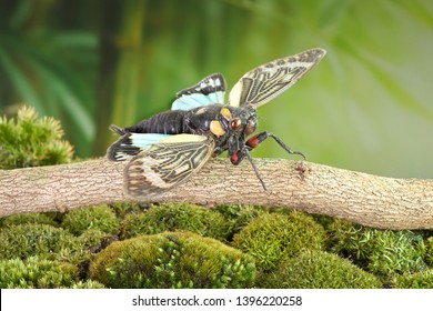 Cicada : Blue butterfly-wings cicada (Distantalna splendida) is a cicada species from southeast Asia (Thailand, Myanmar and India) Butterfly cicadas with broad multicolor wings.