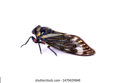 Cicada : Blue butterfly-wings cicada (Distantalna splendida) is a cicada species from southeast Asia (Thailand, Myanmar and India) Butterfly cicadas with broad multicolor wings. Isolated on white.