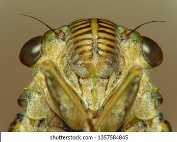 Cicada Bug. Cicada insect. Cicada stick Extreme on tree at the park of thailand Tremendous musical abilities of cicada. insect sings beautifully and prefers a warm climate