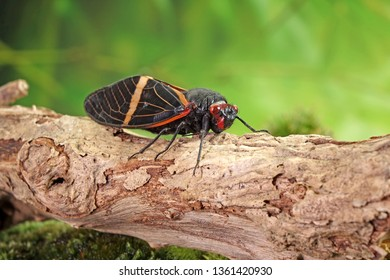Cicada : Butterfly cicadas with broad multicolor wings. Orange strip butterfly-wings cicada (Tosena paviei) is a cicada species from southeast Asia (Thailand, Laos and Vietnam)