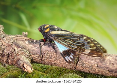 Cicada : Butterfly cicadas with broad multicolor wings. Blue butterfly-wings cicada (Distantalna splendida) is a cicada species from southeast Asia (Thailand, Myanmar and India)