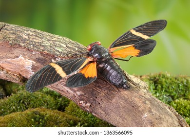 Cicada : Butterfly cicadas with broad multicolor wings. Orange stripe butterfly-wings cicada (Tosena paviei) is a cicada species from southeast Asia (Thailand, Laos and Vietnam)