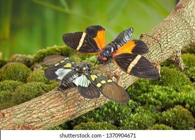 Cicada : Butterfly cicadas with broad multicolor wings. Green and blue color butterfly-wings cicada (Gaeana cheni) and Orange stripe Cicada (Tosena paviei) are cicadas species from Thailand