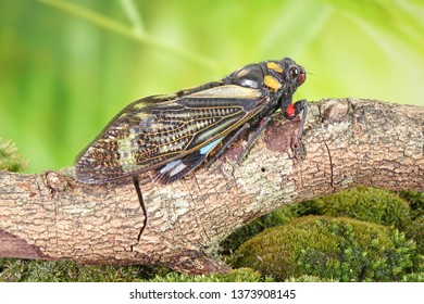 Cicada : Butterfly cicadas with broad multicolor wings. Blue butterfly-wings cicada (Distantalna splendida) is a cicada species from southeast Asia (Thailand, Myanmar and India) Symphony of forest.