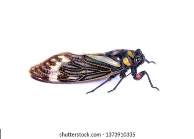 Cicada : Butterfly cicadas with broad multicolor wings. Blue butterfly-wings cicada (Distantalna splendida) is a cicada species from southeast Asia (Thailand, Myanmar and India) Isolated on white.