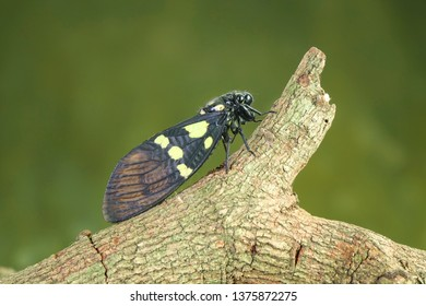 Cicada : Butterfly cicadas with broad multicolor wings. Green and blue color butterfly-wings cicada (Gaeana cheni) is a cicada species from China and Southeast Asia (Thailand, Myanmar)