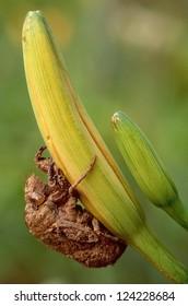 Cicada case on flower bud