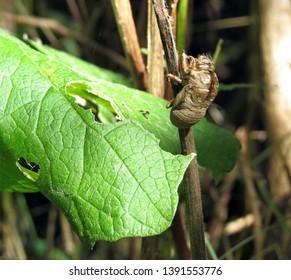 A Cicada Exoskeleton cling to a stick in a summer garden.