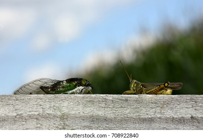 A cicada and grasshopper sitting next to each other on a piece of wood.