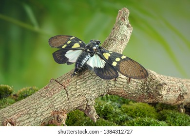 Cicada : Green and blue color butterfly-wings cicada (Gaeana cheni) is a cicada species from China and Southeast Asia (Thailand, Myanmar) Butterfly cicadas with broad multicolor wings.