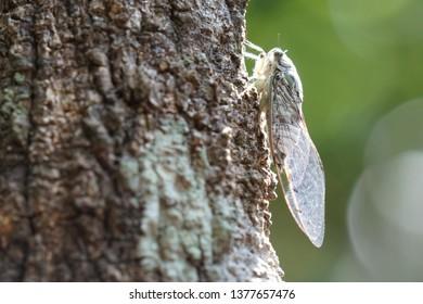 Cicada hang on the tree,pompania, Meimuna opalifera Walker