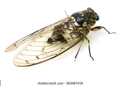 cicada insect isolated on white background
