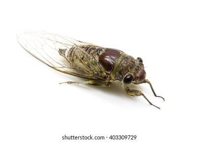 Cicada insect isolated on white background:Close up,select focus with shallow depth of field:Macro shot.