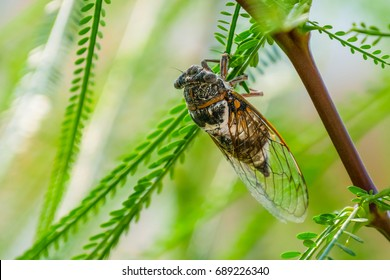 Cicada insect. Cicada standing on a branch. Cicada Macro. Cicada sits on a branch in natural habitat