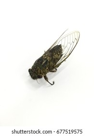Cicada insects that cried loudly and can be made into food.
