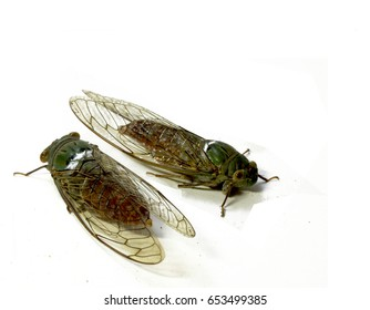 cicada isolated