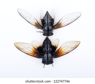 Cicada isolated on white background