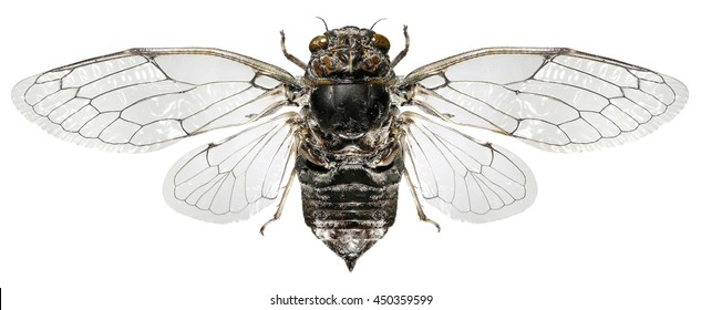 Cicada isolated on a white background, dorsal view with outspread wings