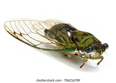Cicada Isolated on White with Shadow