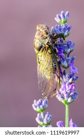 cicada and lavender : unavoidables of summer