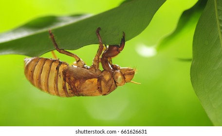Cicada (magicicada) shell (exuvia) clinging upside down on bottom of a green leaf