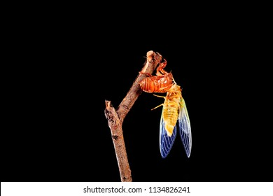 A cicada metamorphoses on a branch, A cicada is molting on a branch,black background