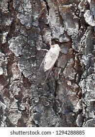 Cicada on old Mahogany tree
